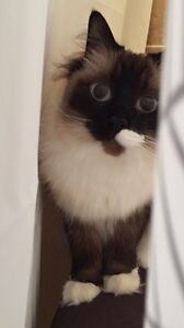 Lost Cat in Zaduk and Macallister area