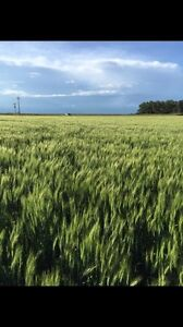Certified AAC Brandon Wheat for sale