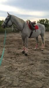Dressage Gelding for Part Board