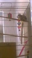 Young Parakeets and all accessories and