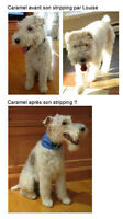 Épilation à la main (Fox-terrier, Airdale, Westie)