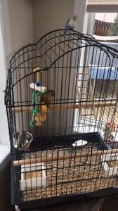 Green check conure and budgie with cages $600 obo