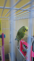 FREE Budgie bird with cage