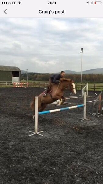 Horse, 16hh 5 year old mare for sale