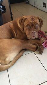 Dogue de Bordeaux 11 months old KC registered Bitch with papers