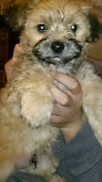 Shorkie Poo Puppies For Sale
