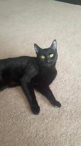 "Young Female Cat - Domestic Short Hair-black: ""Tango"""