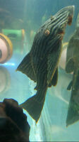 "8"" Large L191 Royal Pleco"