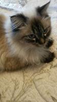 Lost Ragdoll Cat