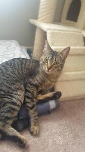 """Young Female Cat - Domestic Short Hair: """"Gypsy"""""""