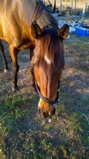 THOROUGHBRED MARE NEEDS TO FIND NEW HOME ASAP Gatton Lockyer Valley Preview