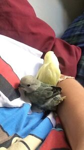 Baby Lovebirds need a new home ASAP! London Ontario image 6