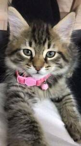Beautiful Kitten needs furrever home <3 Stanmore Marrickville Area Preview