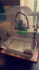 blue & yellow male budgie 3 months with cage