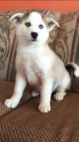 Registered Siberian Husky Puppies ( with blue eyes)