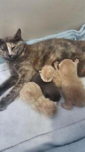 """Young Female Cat - Domestic Short Hair: """"Natalie"""""""