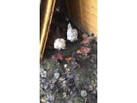 14 Chickens for sale £50 all, £4 each
