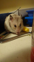 Adventurous hamster in need of exciting loving home