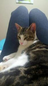 """Young Male Cat - Domestic Short Hair: """"Sonic"""""""