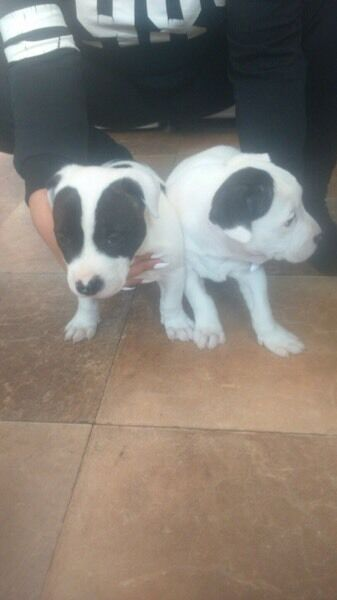 Staffordshire x American bulldog puppies