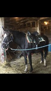Riding & Driving  horse for sale