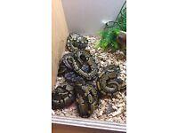 Young royal pythons