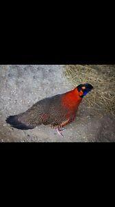 Pheasants, Peacocks, Doves, Quail..