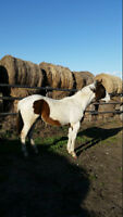 APHA Registered Bay Tobiano Colt for Sale