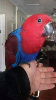 Hand Reared Young Female Eclectus Parrot - Loves Company Para Vista Salisbury Area Preview
