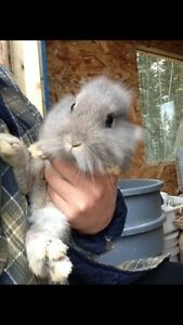 Female Dwarf  bunnies for sale
