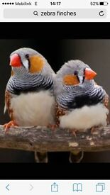 Colony of 12 zebra finches