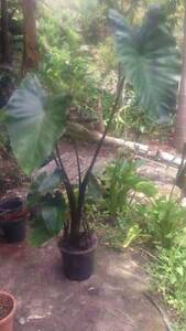 Taro / Elephant Ear / Colocasia plants Mount Colah Hornsby Area Preview