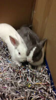 2 BUNNIES FOR SALE HURRY