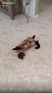 Seeking Siamese kitten to buy