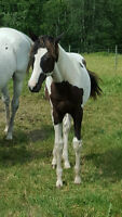 2014 Black and White APHA Gelding