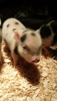 Micro Piglets Available