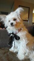 Stunning gorgeous 7month Pomeranian/Shih Tzu - Oakville