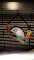 Budgies for a good home