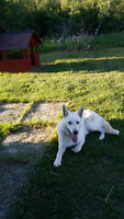 Looking for a good home for white german shepherd