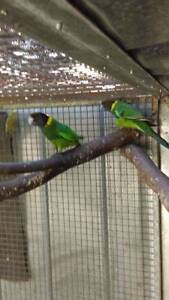 28 parrots Anketell Kwinana Area Preview