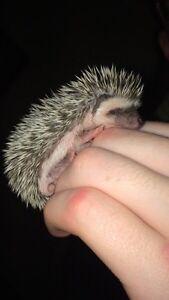 Baby hedgehogs  Peterborough Peterborough Area image 3