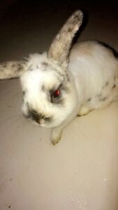 BUNNY FOR CHEAP( NEED GONE ASAP)