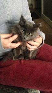 Rehoming gorgeous long haired kitten