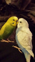 For sale 2 budgies