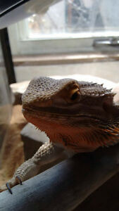 2 year old FEMALE bearded dragon