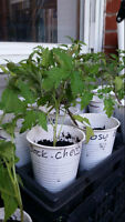 Heirloom tomato plants (Plateau area)
