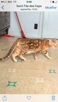 2 chattes de bengal marbrées (prix pour les 2 )