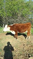 2 - 3 yr old Polled Hereford Heifers