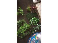 20 medium/ large plants
