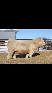 Beck Farms and McCoy Cattle Co bull sale